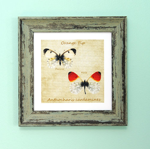 "Irish Garden Butterflies Orange Tip Art Frame 9""x 9"""